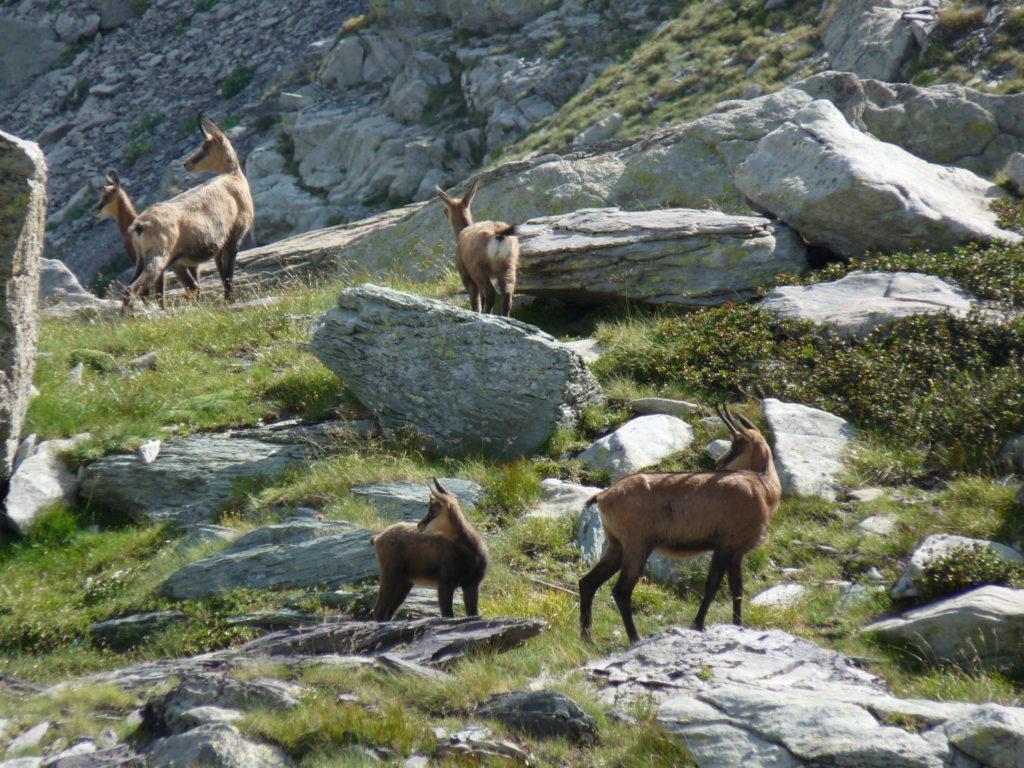 marc-aynie-mercantour-guide-alpes-allos-haute-provence-faune-flore-mercantour-sud-de-la-france-chamois-rupicra-rupicra-chevreaux