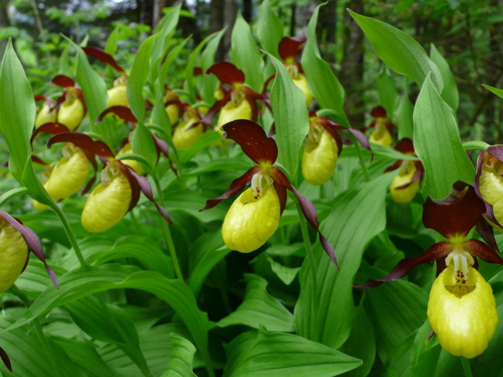 mercantour-flore-fleur-alpes-du-sud-provence-departement-06-montagne-randonnee-allos-venus-sabot