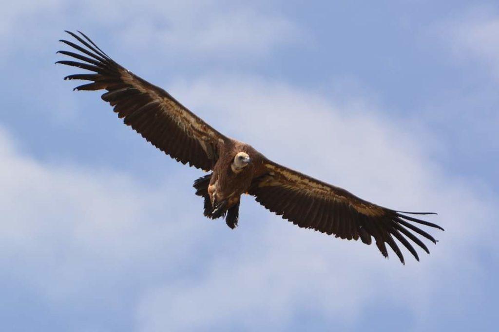 marc-aynie-mercantour-guide-alpes-allos-haute-provence-faune-flore-mercantour-sud-de-la-france-gres-montagne-randonnee-vautour-fauve