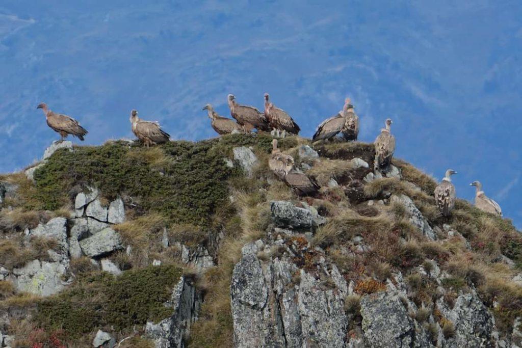 marc-aynie-mercantour-guide-alpes-allos-haute-provence-faune-flore-mercantour-sud-de-la-france-vautour-fauve-montagne-rapace-carnassier