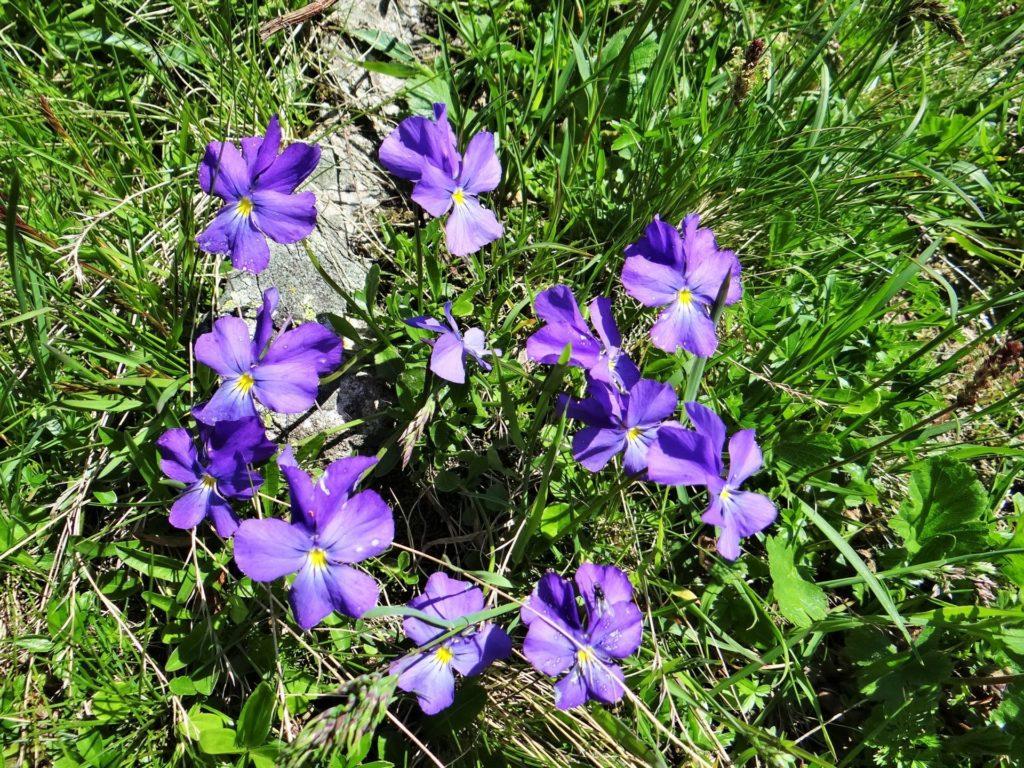 mercantour-flore-fleur-alpes-du-sud-provence-departement-06-montagne-randonnee-allos-pensee-des-alpes-viola-calcarata