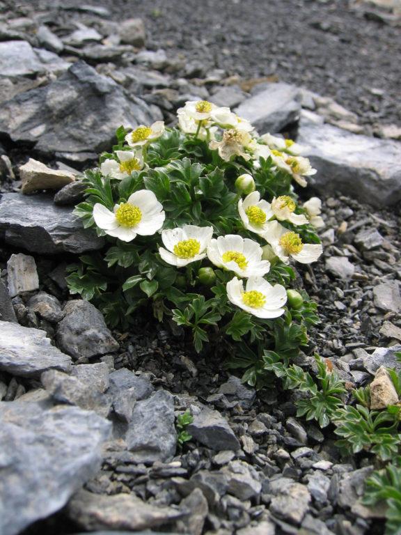mercantour-flore-fleur-alpes-du-sud-provence-departement-06-montagne-randonnee-allos-renoncule