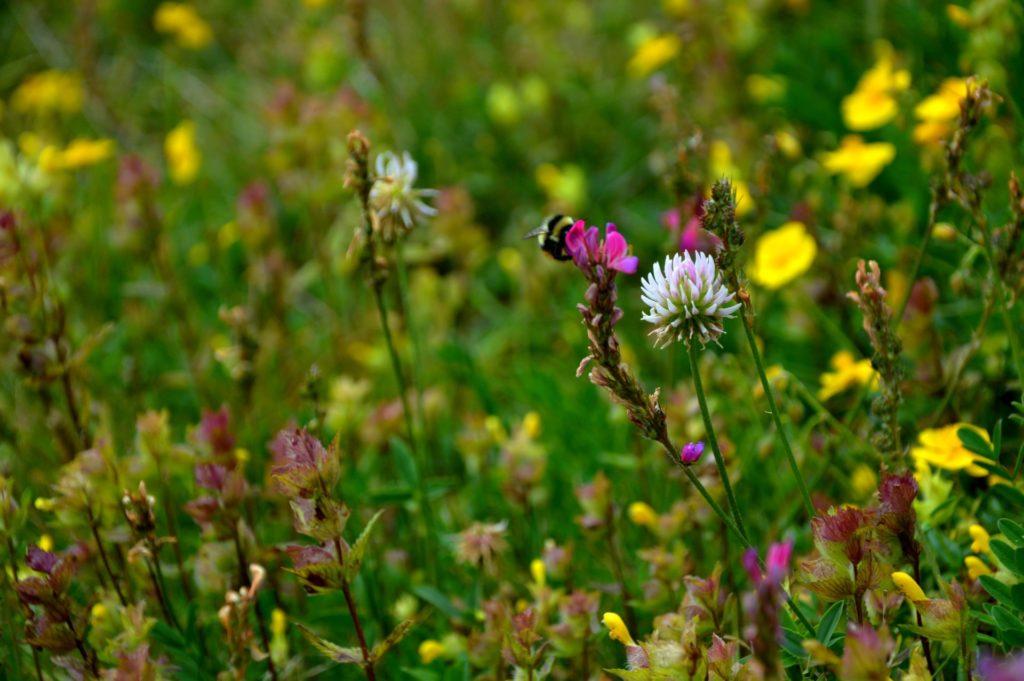 mercantour-flore-fleur-alpes-du-sud-provence-departement-06-montagne-randonnee-allos