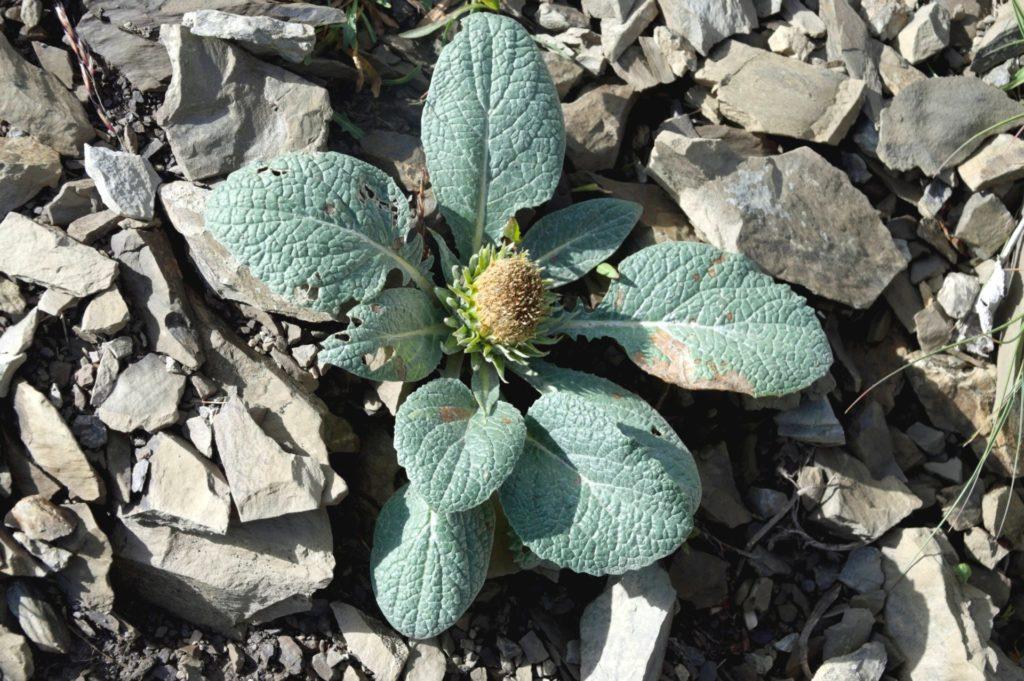 mercantour-flore-fleur-alpes-du-sud-provence-departement-06-montagne-randonnee-allos-berardi-laineuse