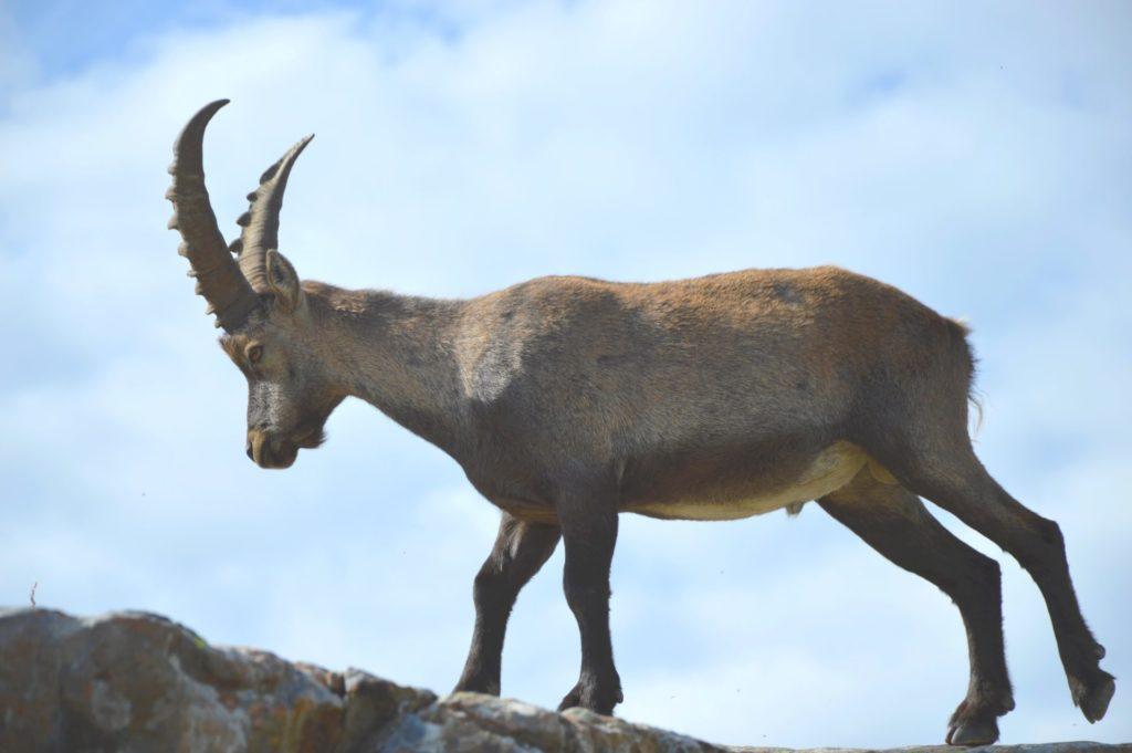 marc-aynie-mercantour-guide-alpes-allos-haute-provence-faune-flore-mercantour-sud-de-la-france-bouquetin-montagne