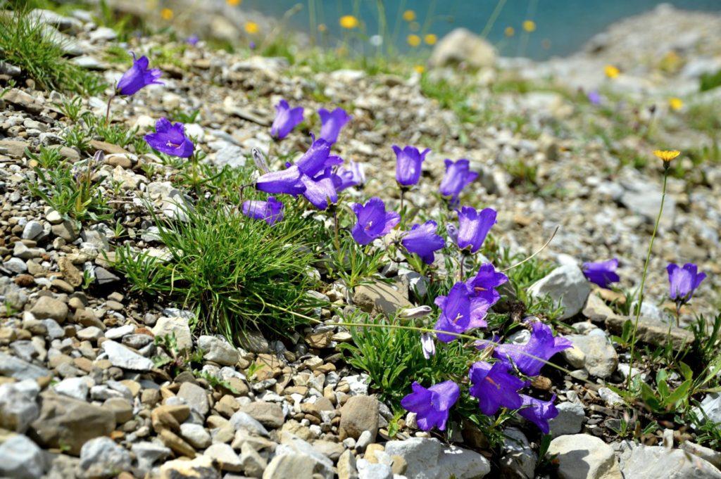 mercantour-flore-fleur-alpes-du-sud-provence-departement-06-montagne-randonnee-allos-campanules-campanula-alpestris