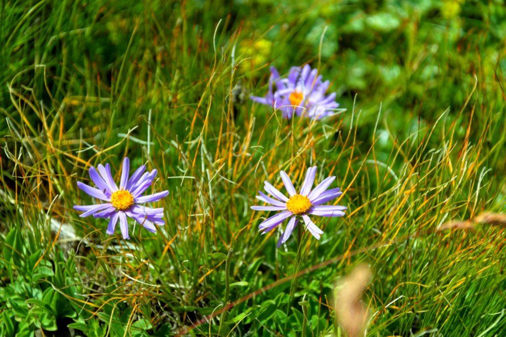 mercantour-flore-fleur-alpes-du-sud-provence-departement-06-montagne-randonnee-allos-aster-des-alpes-alpinus-aster