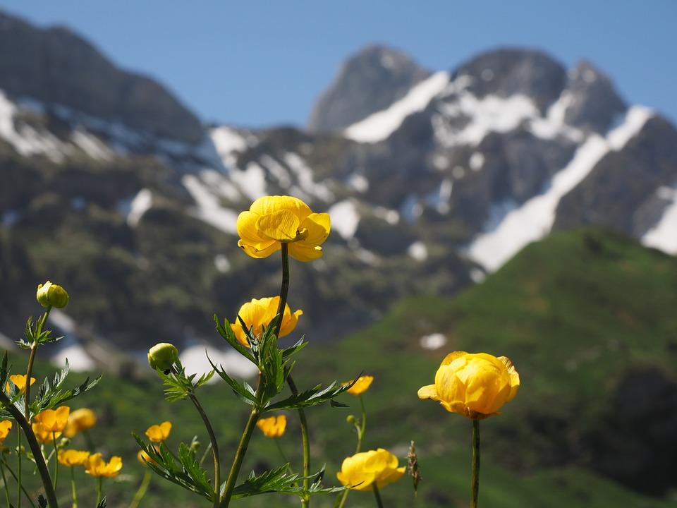 mercantour-flore-fleur-alpes-du-sud-provence-departement-06-montagne-randonnee-allos-trolle-trollus-europeaus