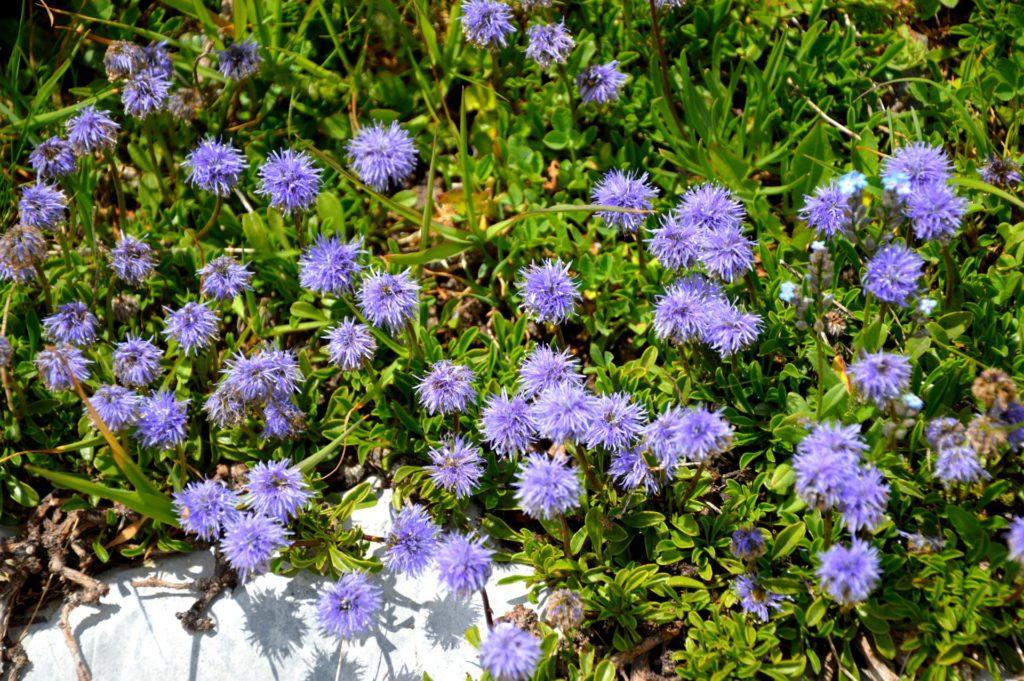 mercantour-flore-fleur-alpes-du-sud-provence-departement-06-montagne-randonnee-allos-globulaire-globularia-cordifolia