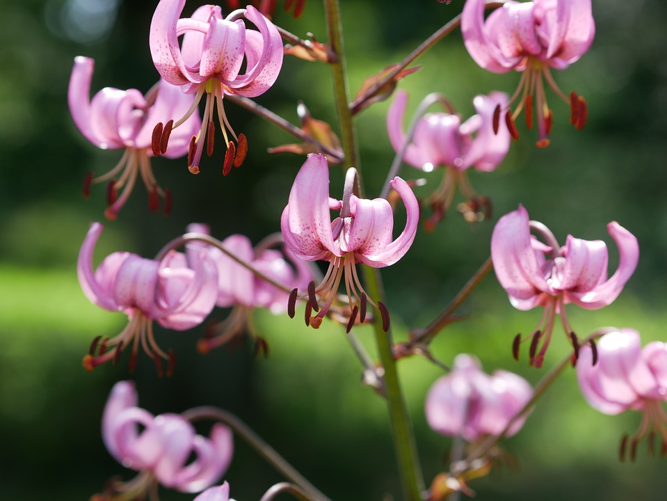 mercantour-flore-fleur-alpes-du-sud-provence-departement-06-montagne-randonnee-allos-lis-martagon-lilium-martagon