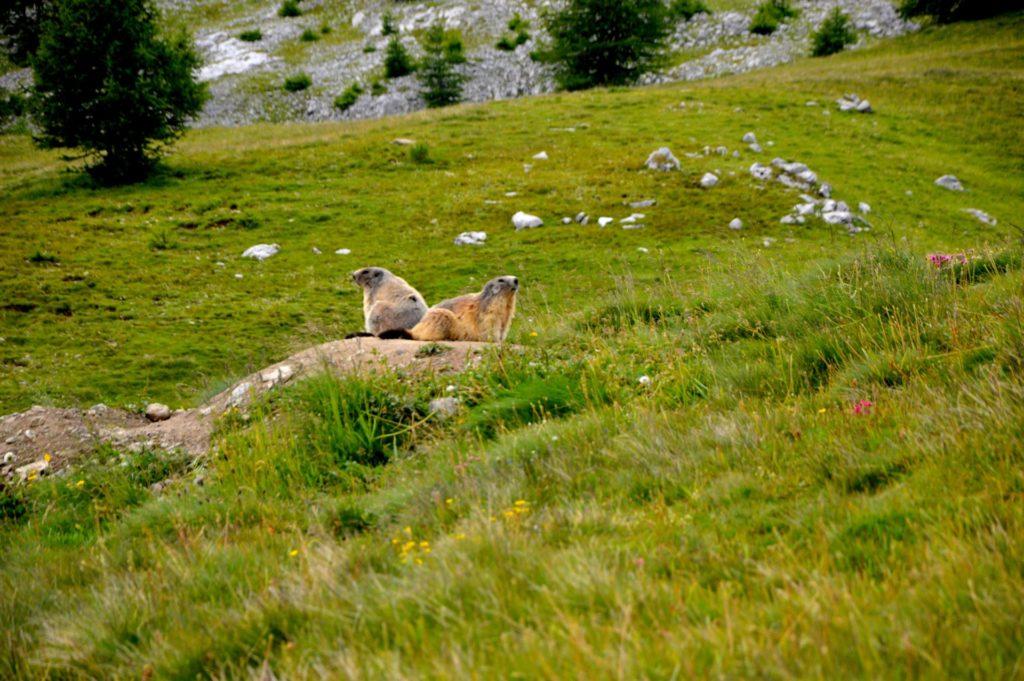 marc-aynie-mercantour-guide-alpes-allos-haute-provence-faune-flore-mercantour-sud-de-la-france-marmotte-marmotta-marmotton