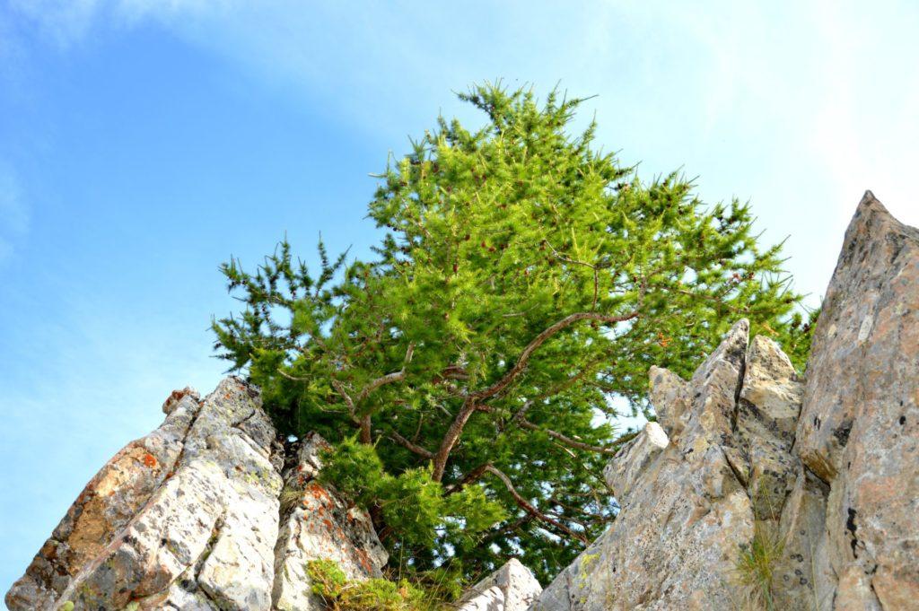 marc-aynie-mercantour-guide-alpes-allos-haute-provence-faune-flore-mercantour-sud-de-la-france-meleze-montagne