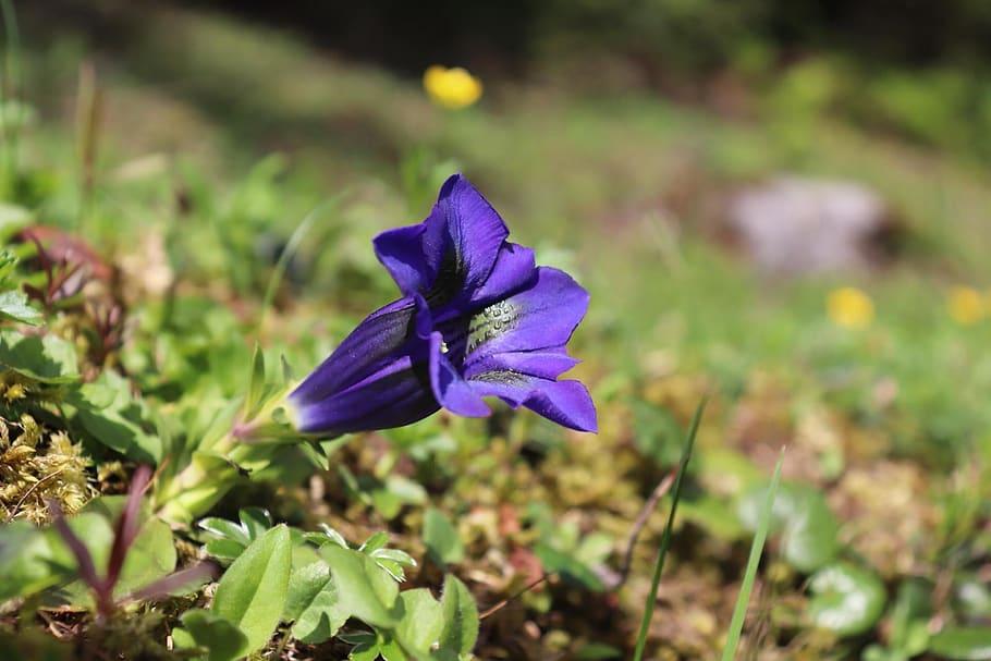 mercantour-flore-fleur-alpes-du-sud-provence-departement-06-montagne-randonnee-allos-gentiane-clusisus