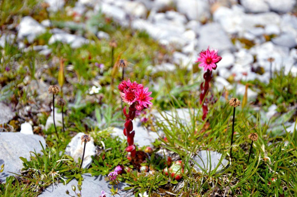 mercantour-flore-fleur-alpes-du-sud-provence-departement-06-montagne-randonnee-allos-joubarbe-a-toile-araignee