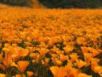 fleur-montagne-orange-lac-mercantour