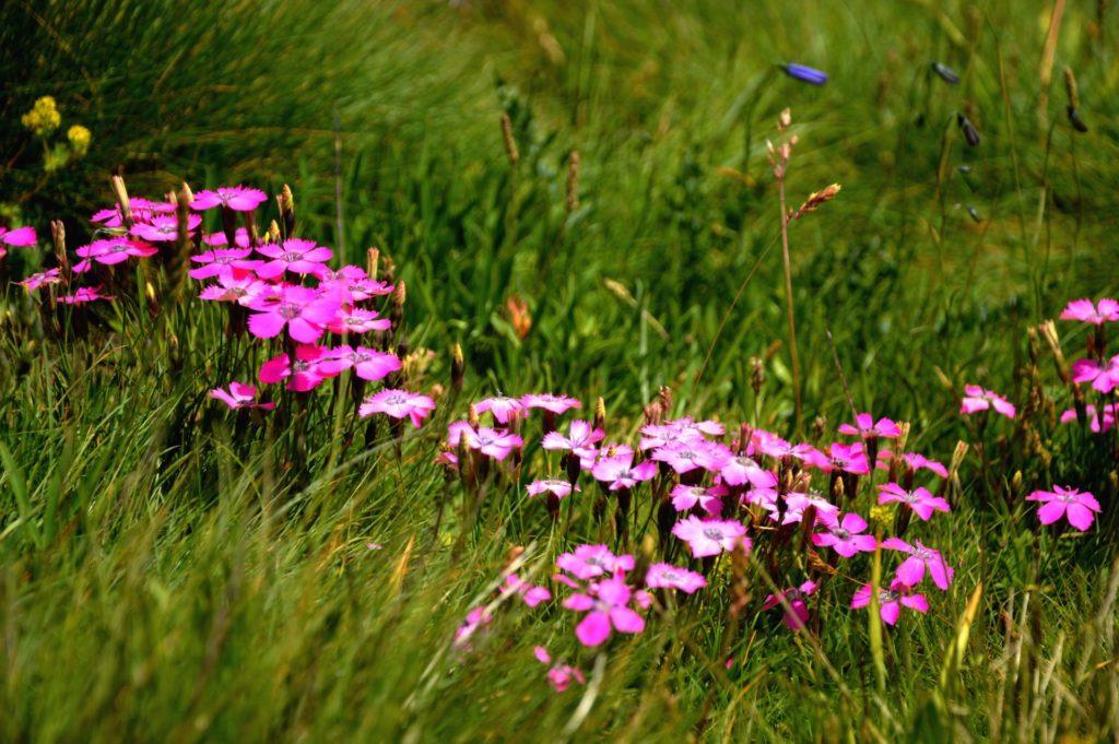 mercantour-flore-fleur-alpes-du-sud-provence-departement-06-montagne-randonnee-allos-oeil-de-paon-dianthus-pavonus